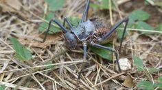 Armoured ground cricket (Acanthoplus discoidalis)