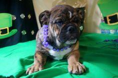 Glitter is available!!!! Call/text 606-524-5758  pottersbulldogs.net @pottersbulldogs on instagram