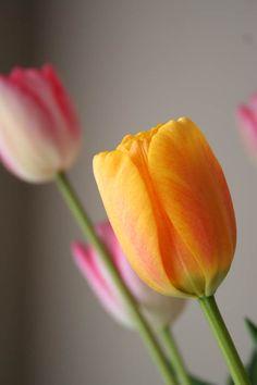 Tulipán eres unos de mis preferidos