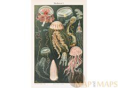 Medusae Jellyfish 2 Old Prints Medusen I II Meyers 19th Century