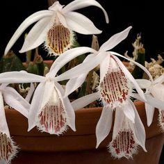 Orchid: Pleione humilis Rare Exotics