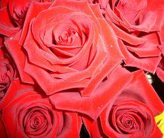 Rose vellutate