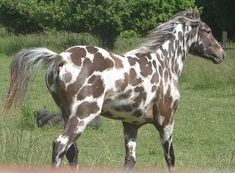 brown leopard - appaloosa