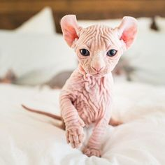 - Hairless Cat - Ideas of Hairless Cat - The post appeared first on Cat Gig. Cute Kittens, Kittens And Puppies, Cats And Kittens, Cats Bus, Chats Devon Rex, Devon Rex Cats, Beautiful Cats, Animals Beautiful, Spinx Cat
