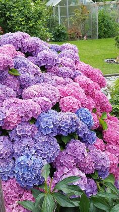 Hortensia Hydrangea, Hydrangea Care, Hydrangeas, Deco Floral, Flower Aesthetic, Dream Garden, Lawn And Garden, Garden Plants, Garden Art