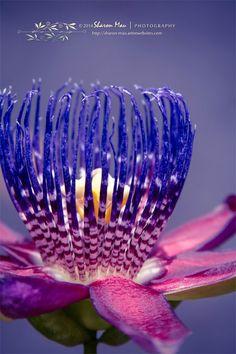 Winged-stem Passion Flower