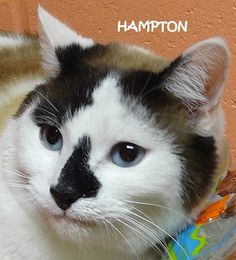 ADOPTED!  Tag# 7790  Name is Hampton  Burmese Mix  Male-neutered  Front declawed  Big sweetheart!  Located at 2396 W Genesee Street, Lapeer, Mi. For more information, please call 810-667-0236  https://www.facebook.com/267166810020812/photos/a.806314516106036.1073742132.267166810020812/806318262772328/?type=3&theater
