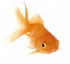 I want a goldfish so bad. That's all I want a gold fish. Someone please get me a 50 cent goldfish
