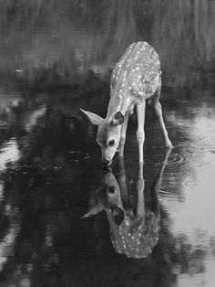 Drinking deer awesome click via Wildlife and Nature Pictures Wild Life, Nature Animals, Animals And Pets, Wild Animals, Wildlife Nature, Wildlife Photography, Animal Photography, Reflection Photography, Amazing Photography