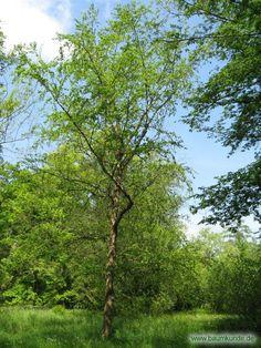 Schwarz-Birke / Betula nigra / Habitus Familie: Betulaceae
