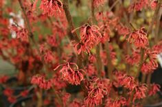 Hamamelis x intermedia 'Feuerzauber' also known as 'Fire Charm' 'Magic Fire' is a fragrant winter flowering shrub with amazing autum. Winter Flowering Shrubs, Orange Red, Yellow, Big Plants, Witch Hazel, Plant Nursery, Orange Flowers, Green Leaves, 20 Years