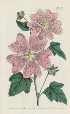 Lavatera Thuringiaca. Great-Flowered Lavatera. from Curtis pink amaryllis, poppy anemone, gladiolus, clematis, apple blossom, lavender