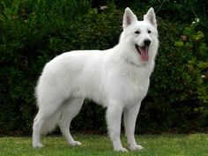 17 months old. Long haired white shepherd. Covet covet covet!!