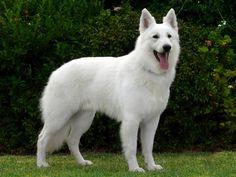 17 months old. Long haired white shepherd. Covet covet covet!!