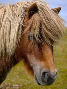 Shetland Pony, Fetlar, Shetland. 19/07/12