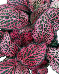 Nerve Plant - Fittonia #verticalwallplant