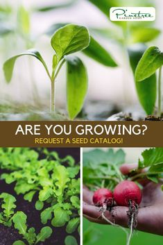 Request a free Pinetree Garden Seeds Catalog Zone 7, Seed Catalogs, Garden Seeds, Seed Starting, Gardening Tips, Homesteading, Diys, Gift Ideas, Vegetables