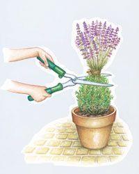 Lavendel richtig schneiden -  Lukas Thockok -  lthockok  - #Lavendel #lthockok #Lukas #richtig #schneiden #Thockok