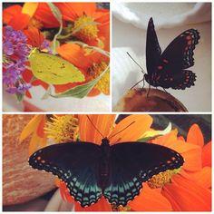 Feeding time for butterflies that will be released with the patients of a nursing home. #sleepyorangebutterfly #redspottedbutterfly #laurensbutterflyfarm #butterfly #Padgram
