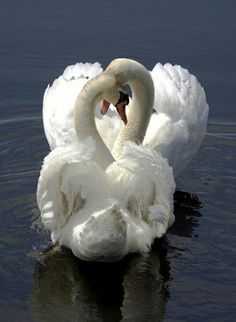 Mute Swan (Cygnus olor) Critically Endangered - native to much of Eurasia and, as a rare winter visitor, the far north of Africa. Beautiful Swan, Beautiful Birds, Animals Beautiful, Simply Beautiful, Pretty Birds, Love Birds, Animals And Pets, Cute Animals, Nature Animals