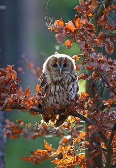 Owl in Autumn leaves.