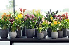 Unter dem Namen Zantedeschia ist die Calla auch bekannt #pflanzenfreude #calla #plant #pflanze #indoor