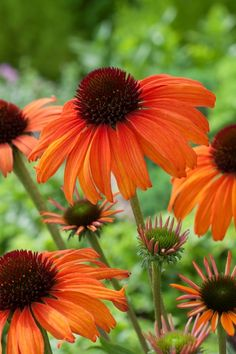 Discover 14 new types of coneflower that will bring glorious shades of pink, orange, yellow, red, and chartreuse to your garden. See pictures of coneflowers. Fall Flowers, Beautiful Flowers, Lush Lawn, Flower Garden Design, Gardening For Beginners, Summer Garden, Dream Garden, Amazing Gardens, Planting Flowers