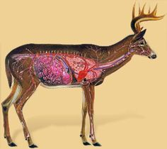 Blood Trailing Deer Tips