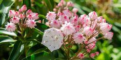 Types of Laurel Flowers Types Of Hydrangeas, Types Of Orchids, Climbing Hydrangea, Hydrangea Garden, Hydroponic Tomatoes, Hydroponic Farming, Aquaponics System, Hydroponics, Angel Trumpet Plant