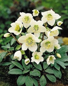 Hellebores blooms late winter and has evergreen leaves. To be planted under japanese maple