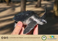 It's all about being friends with enviroment. let's make the difference #Thinkgreen #turtles #LaCocoteraEcoResort  www.lacocoteraecoresort.com