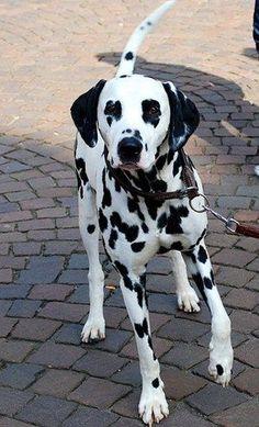 Dalmatian. Looks like PJ @Rita Clark