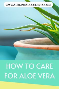 Learn some tips on how to care, benefits, and uses of Aloe Vera. Succulent Species, Succulent Seeds, Succulent Planter Diy, Succulent Care, Flowering Succulents, Cacti And Succulents, Planting Flowers, What Is Aloe Vera, Succulents Online