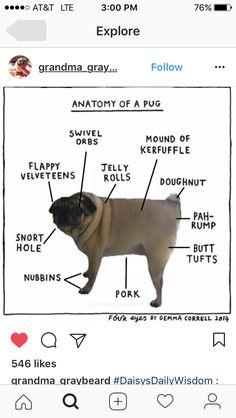 Pugs are my favorite ❤