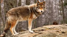 coyote-standing.ngsversion.1459714905525.adapt.1900.1.jpg