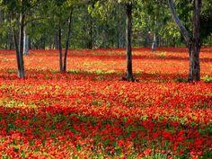 Calanit - Israel's National Flower   Community Post: 66 Reasons Why We Love Israel