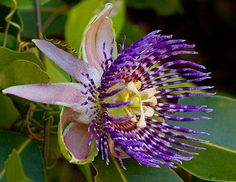 Edible Flowers: Passiflora, passionflower, liliko'i (Hawaiian). Only the flower petals and fruit from this plant are edible. The leaves, stems, and roots are considered toxic.