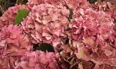 #Hydrangea #Hortensia #Rodeo Red Classic; Available at www.barendsen.nl