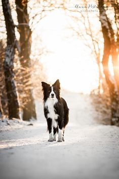 Beautiful Dogs, Animals Beautiful, Amazing Dogs, Beautiful Pictures, Border Collie Welpen, I Love Dogs, Cute Dogs, Animals And Pets, Cute Animals