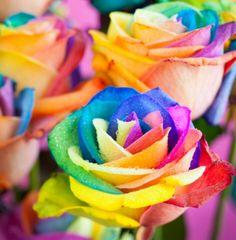 Rainbow Rose Flowers Nature Background Wallpapers on Desktop Rainbow Flowers, Rainbow Colors, Rainbow Things, Rare Roses, Beautiful Rose Flowers, Pretty Roses, Flowers Nature, Beautiful Scenery, Colorful Roses