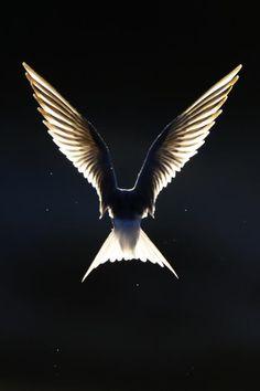 Like an Angel: The Common Tern (by Jari Heikkinen)