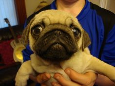 Baby pug is taking his Facebook profile pic