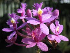 Epidendrum sp