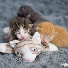 Rescue is the most adorable breed of cats. Obviously. #squee #kittens TinyKittens.com