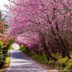 春之隧道 The Tunnel of Spring, Taichung by yameme (為五斗米折腰中....), via Flickr