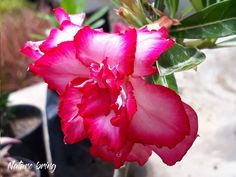 Adenium plantAdenium is the genus of flowering plants in the Apocynum family; it is native to the Arabian Peninsula. it's also known as Desert rose. Adenium is a succulent plant. Best Flowers For Bees, Amazing Flowers, Growing Lilies, Growing Plants, Planting Succulents, Planting Flowers, Flowering Plants, Growing Aloe Vera, Desert Rose Plant