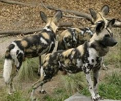 African Painted Dogs are an endangered species.  They look similar to hyenas but are very different.  Hyenas aren't actually canines.  They are closely related to the mongoose family & far more aggresive.