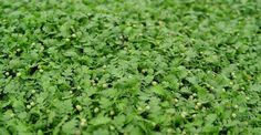 Leptinella dioica 'Minima', mooi groen tapijt, 2cm hoog, groen blad, kan in zon en in schaduw