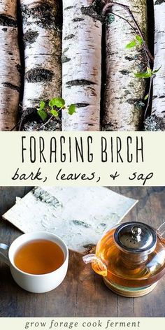 Birch trees have many edible and medicinal uses and are great to forage for! Learn how to harvest and use birch bark, leaves, sap, and make birch bark tea. #birch #birchtree #birchbark #birchleaves #birchsyrup #birchtea #foraging #wildcrafting