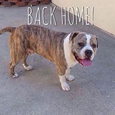 "#BackHome Smores - Pit Bull from #WestCovina has been reunited with his family. Missing 08-06-2015. Back home 08-25-2015. Message: ""For 20 nights I stayed up looking on many Facebook pages websites many shelters trying to figure out my next move. I would go to sleep with my phone in hand and wake up and go back at it. This was a complete nightmare. A very scary time for my kids and I. Every day I found new places to post him. Thank God for the wonderful Angel that gave me the tip I received…"